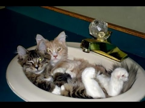 Cats are the kings of animal comedy – Best Funny Cat videos Compilation 2016