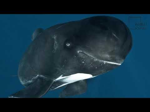 Interesting facts about long finned pilot whale by weird square