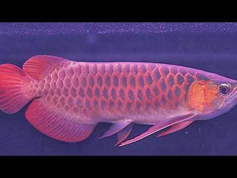update-daftar-harga-ikan-arwana-terbaru-tahun-2021-#arowana