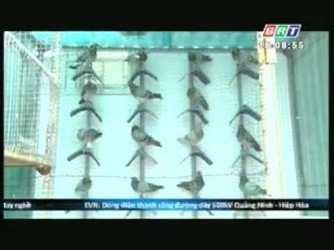 Bồ câu Việt Nam trên kênh Bà Rịa Vũng Tàu