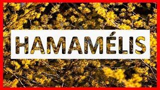 Medicinales hamamelista usos de