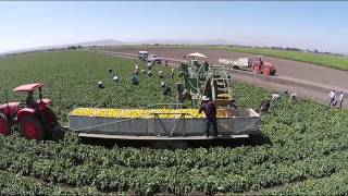 San Felipe Farms LP Yellow Bell Pepper Harvest 2014