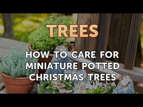 How To Care For Miniature Potted Christmas Trees