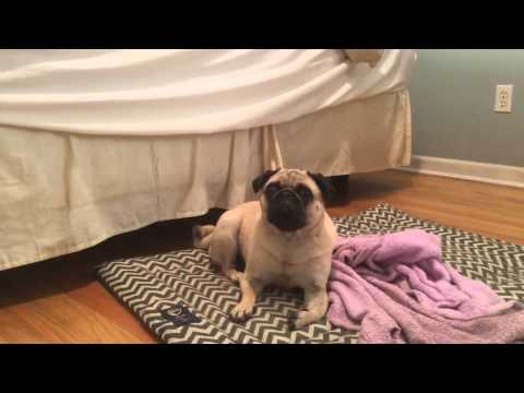 Testing The Do's and Don'ts Of Pug Nap Time | Mushu the Pug