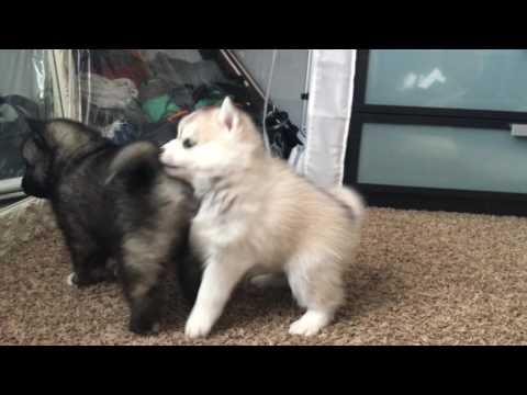 BEST Pomsky Puppy Fight  EVER