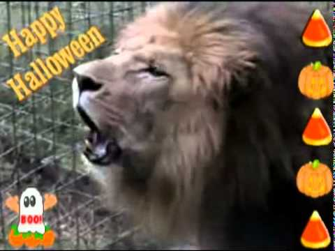 African Lion Roaring Scary Sound