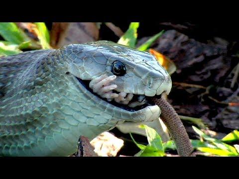 Black Mamba killing Rat 01 - Snake Eats Rat