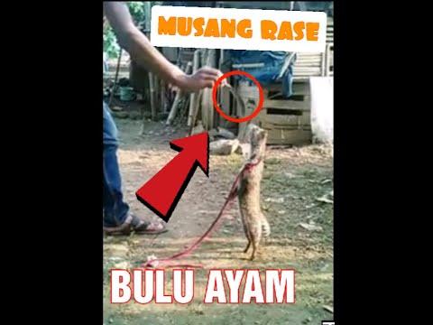 VIDEO cara melatih musang rase