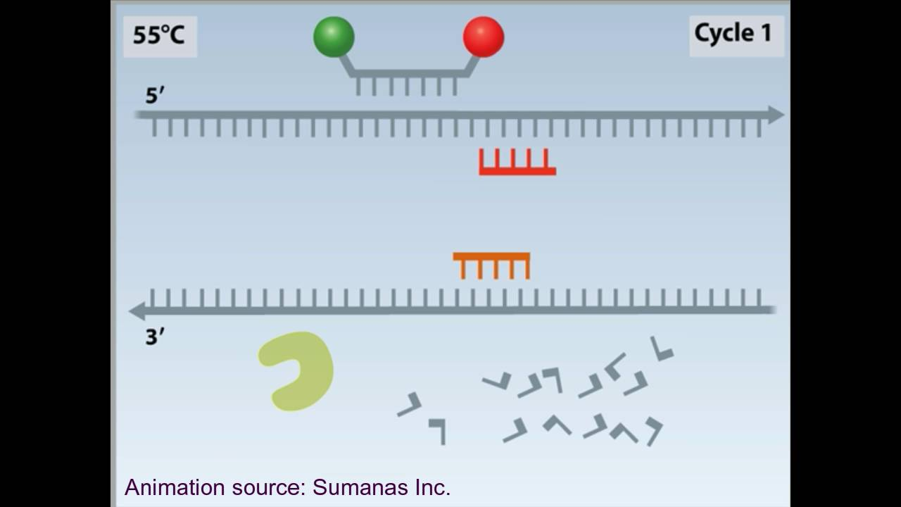 rtpcr animation