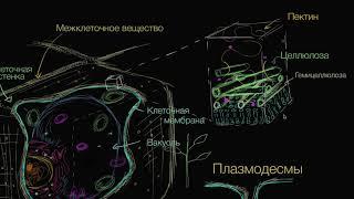 Клеточная стенка растений | Строение клетки | Биология (часть 8)