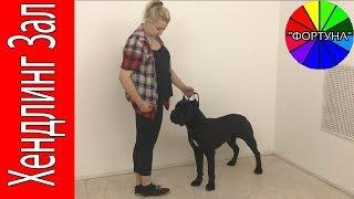 Занятие по Выставочной Подготовкой с Годовалыми Собаками Породы Кане Корсо