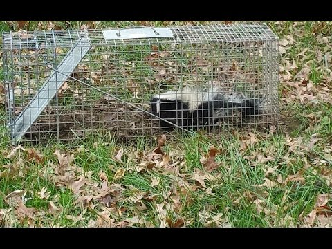 how to get a skunk out of your trap