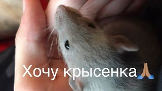 как уговорить родителей купить крысу?