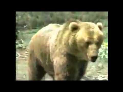 Báo Sư Tử đấu với Gấu *