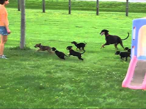 Saluki Puppies First Time Outside 7 18 2015