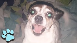 100 Funny Chihuahua Videos | Hilarious Dog Compilation