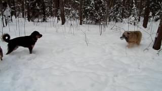 Поведение собак. Бурятские прогулки. Кавказ&хотошо