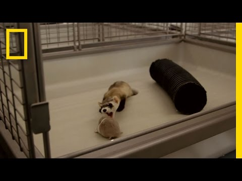 Harsh Reality of Saving Endangered Ferrets