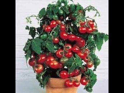 Выращивание комнатных помидоров, Балконное чудо,наши всходы.