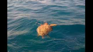 Sea Turtle Eating a Portuguese Man-O-war