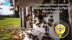 Swarm Cell Queens Piping, Honey Bees Swarming, Installing a New Swarm, Birth of a Colony, Welcome!