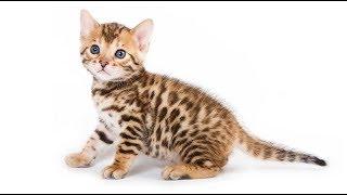 Mèo Bengal - Loài mèo trong thân xác báo