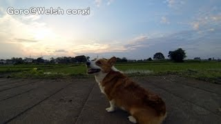 4k Resolution Test - Goro@welsh Corgi コーギー