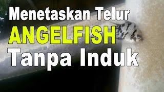 vuclip Menetaskan Telur Manfish Tanpa Induk Part 2