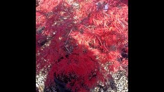 How to germinate Japanese maple seeds