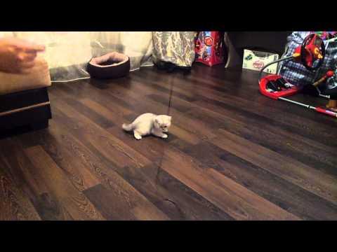 Шотландский котенок. 2 месяца.