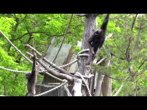 Mueller's Gibbons at Cleveland Metroparks Zoo