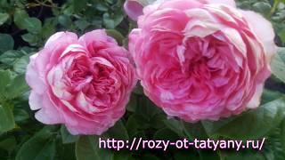 розы Шрабы в Питомнике роз от Татьяны. Внешний вид саженцев роз. Цветения