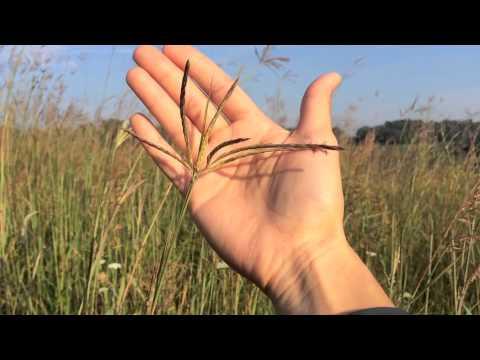 Big Bluestem Grass on the Prairie Orchard Aug.16, 2014