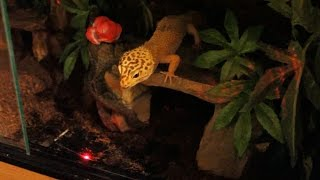 Leopard Gecko's Reaction to Red Light