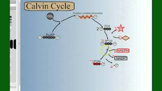 Photosynthesis Part 4: The Calvin Cycle