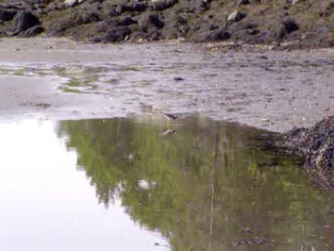 Chasing Piping Plover At Sagadahoc Bay