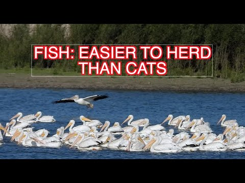 American White Pelicans Herding Fish: NARRATED
