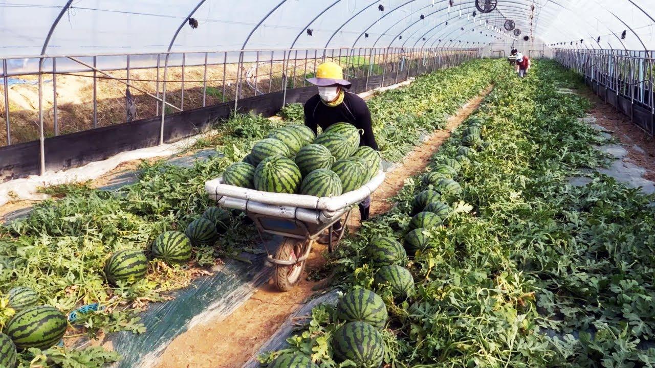 수박이 식탁에 올라오기 까지의 여정 / Until the watermelon harvested at the watermelon farm comes to the table