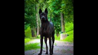 Thai Ridgeback Dog - Тайский Риджбек - Playful dog
