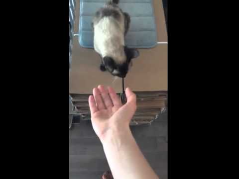 SIAMESE CAT GIVING BOTH PAWS ON COMMAND!!