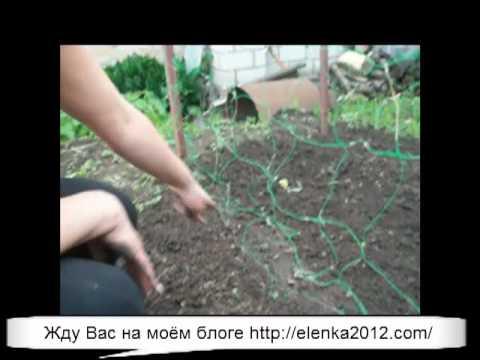 Посадка огурцов в открытый грунт - YouTube