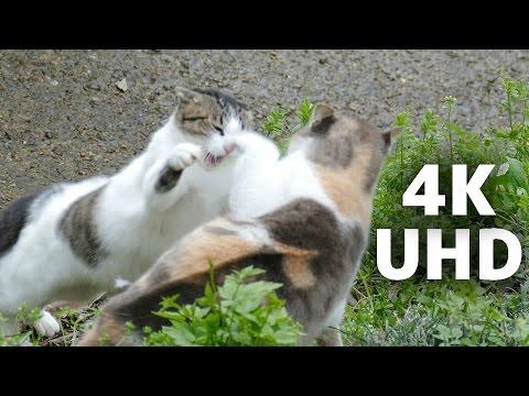 4K 猫の喧嘩 猫パンチ Cat Fight