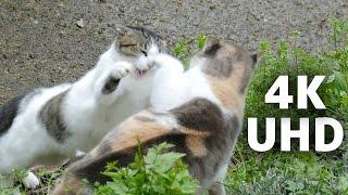 しっぽを大きくして怒っています。猫の喧嘩 Cat Fight Panasonic Lumix ...