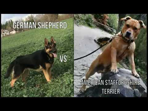 German Shepherd vs American Staffordshire Terrier