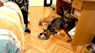 Как познакомить двух котов