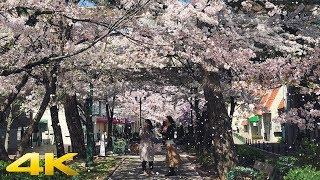 Japan Cherry Blossom 2018 in Takarazuka 宝塚劇場前の桜【4K】