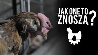 [ZOBACZ] Martwe i ranne kury na polskich fermach. Tak powstają jajka trójki.