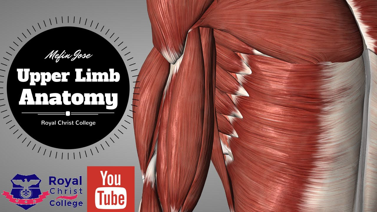 Upper Limb Muscle Anatomy | 3D Anatomy with Actions of muscles ...