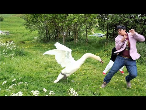 goose attack complications funny – super fun video