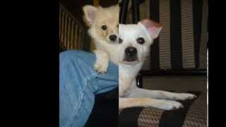Pomchi Mix Breed Dogs From Puppy To Dog!